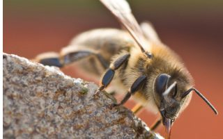 Honey drinking water. Clean water for honey bees is important to colony health.