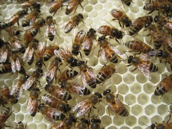 Honey bees drawing comb. Avoid the beekeepers mistake of not feeding enough. Carolina Honeybees