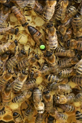 Queen bee, not checking queen status is one of the major beekeeping mistakes. Carolina Honeybees