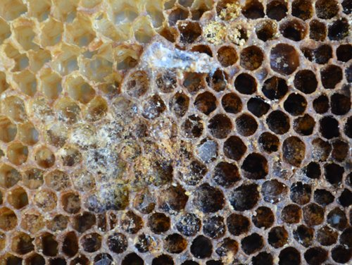Wax Moths in a beehive consume wax and leave behind webbing and feces. Bees can control small infestations of wax moths