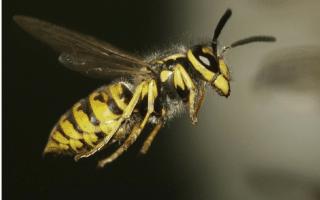 Yellow Jacket Wasp trap