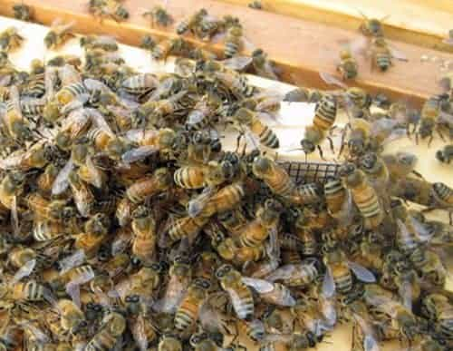 worker honey bees greet a new queen inside a queen cage