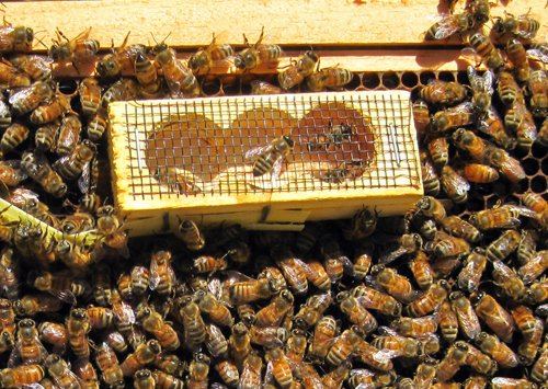 queens have to be slowing introduced to a hive - worker bees with queen cage