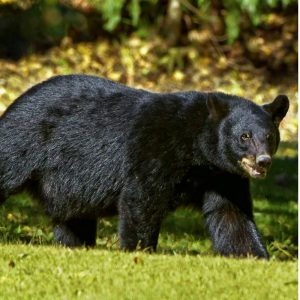 a black bear a predator of an apiary