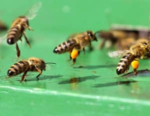 Foraging bees from a moved beehive. Carolina Honeybees