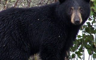 Black bear a threat to beehives without a bear fence