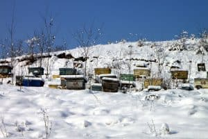 Dead bees in the winter beehive.