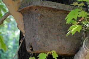 Attracting a Honey bee swarm - Carolina Honeybees