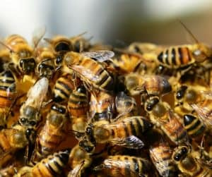 honey bees - workers