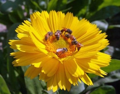 Honey bees on yellow flowers. Planting flowers bees love is one way to help save the bees.