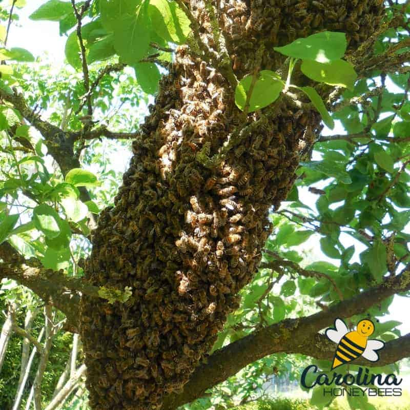 bees swarm in a tree - could it be caught in a swarm trap?