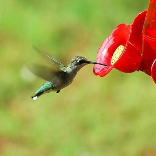 picture of humming bird drinking from feeder