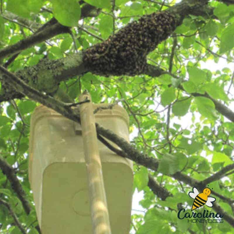 catching a honey bee swarm with a pole bucket