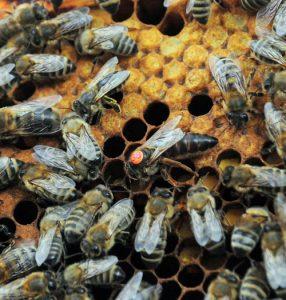 Queen bee - splitting a beehive can result in a new queen