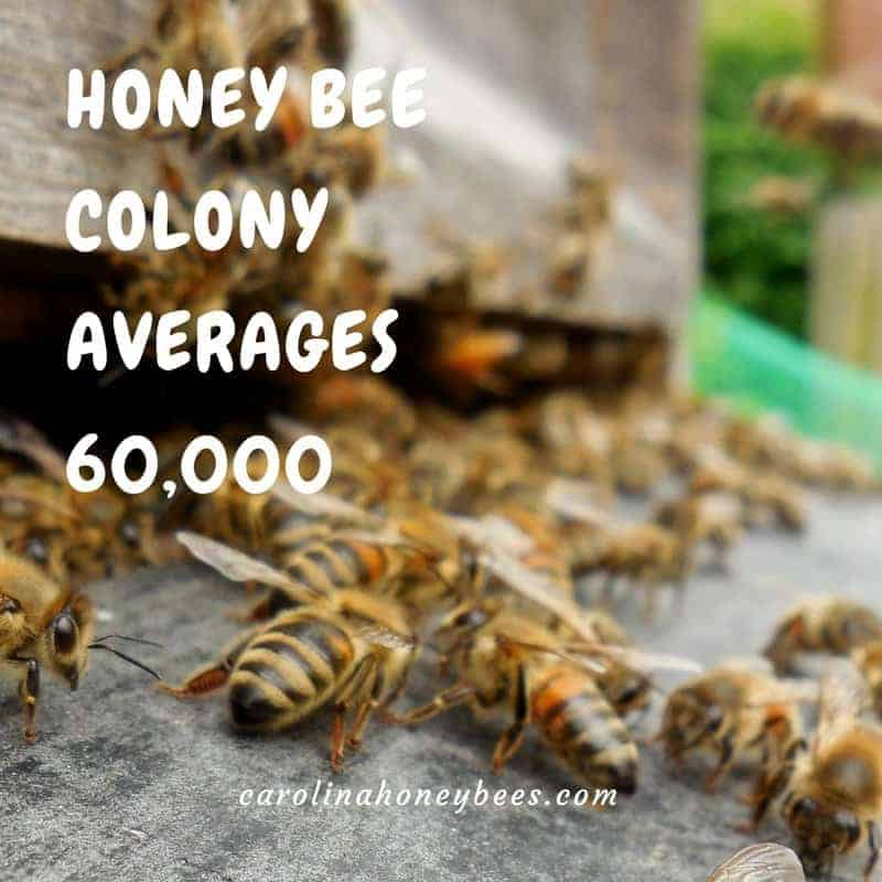 Honey bee colony size averages 60,000 bees.