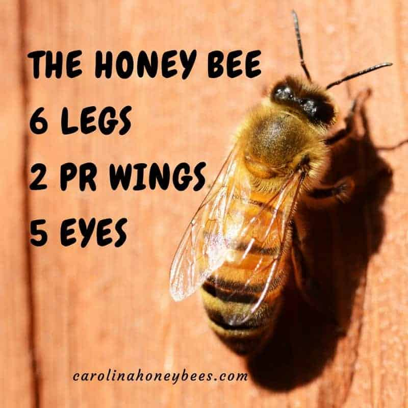 Honey bee facts about anatomy.