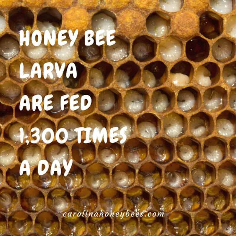 Bee larva. Honey bee larva are fed 1300 times a day- honey bee facts