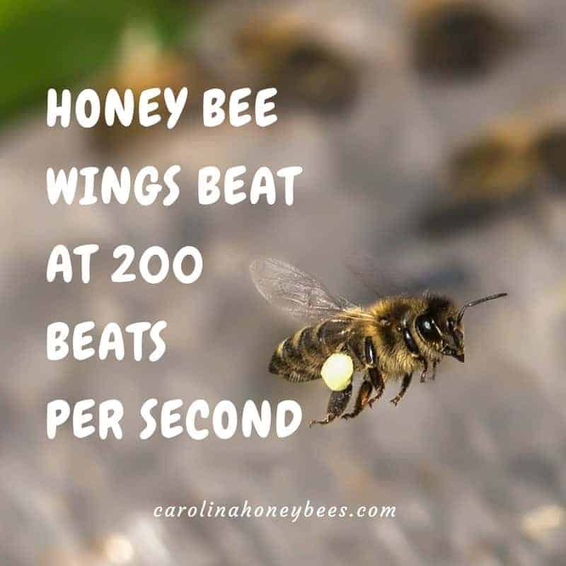 Flying honey bee. Bee wings beat at 200 strokes per second.