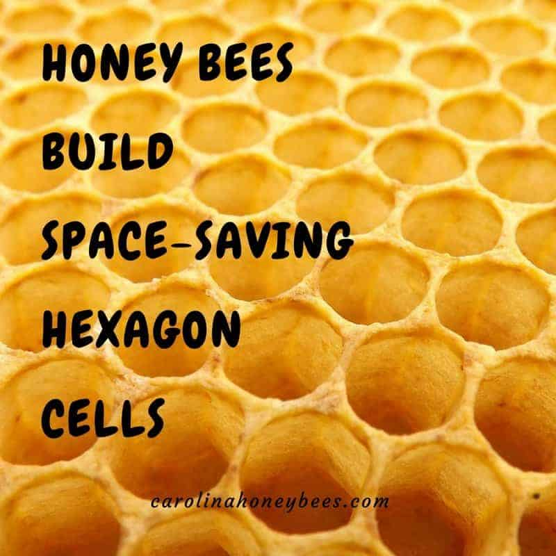 Honeycomb - bees build hexagon cells