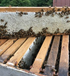 When bees cap the honeycomb cells. Honey is ready for harvest.