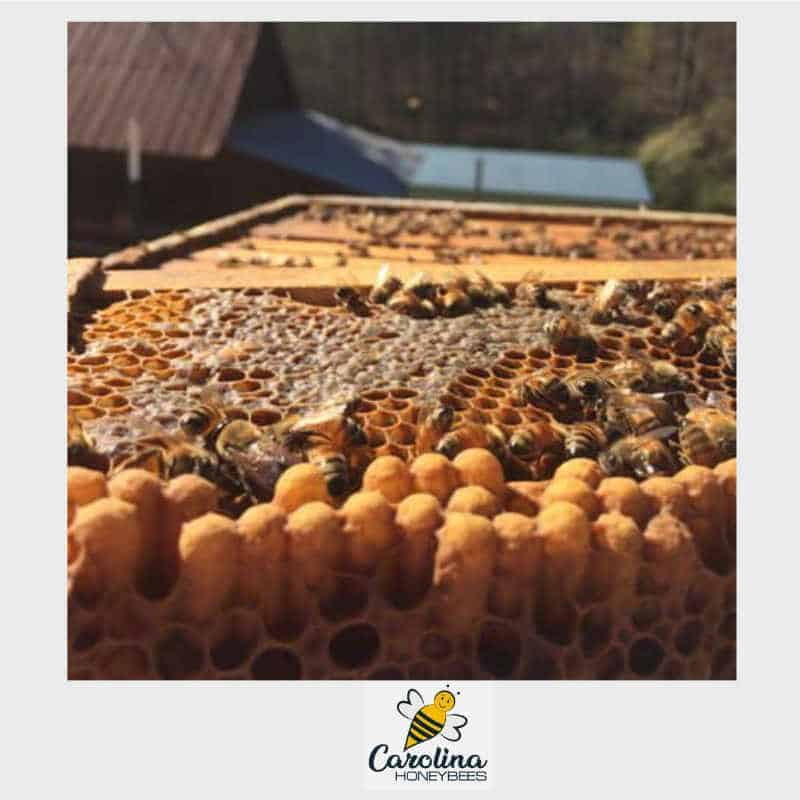 drone brood in a colony