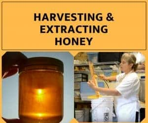 Harvesting & Extracting Honey