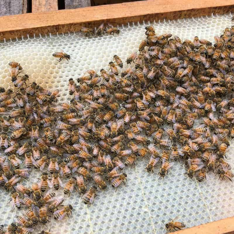 feeding a new package of bees is encouraging these bees to build comb on a frame