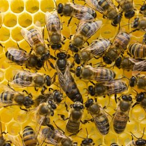 The queen bee goes through the same 4 stage life cycle as any insect.