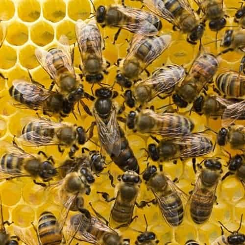 queen bee surrounded by honey bee workers
