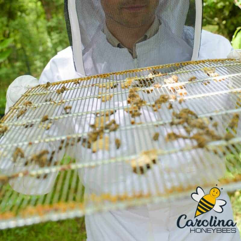 Beekeeper holding a wire bound queen excluder