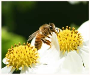 A lack of nectar during a dearth has a negative affect on bees.
