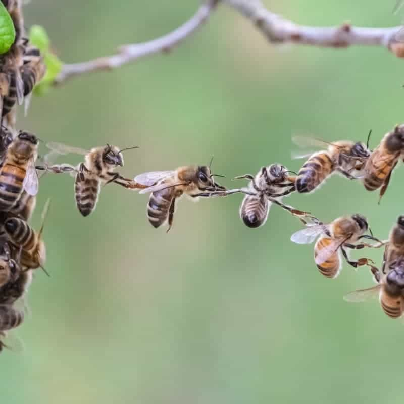 Festooning bees hang in chains to build honey comb too.