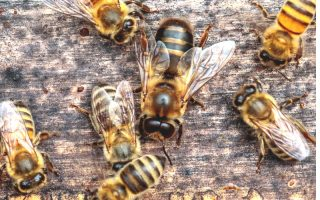 The Drone Bee: Why Your Colony Needs Them