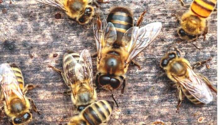 Drone bees are larger than worker bees.