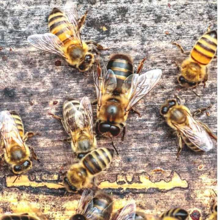 drone bee and worker bees on front of a beehive