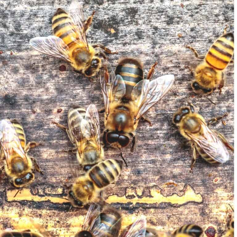 Importance of Drone Bees in the Hive