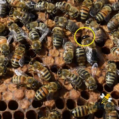 honey bees on brood frame - drone bee with large eyes
