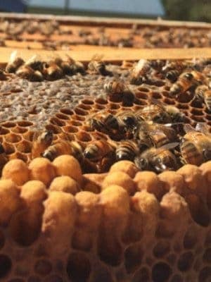 Capped drone brood with characteristic bullet appearance on honey comb.