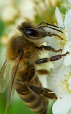 Honey bees bring toxins inside the hive. Beekeepers use essential oils for a natural mite treatment.