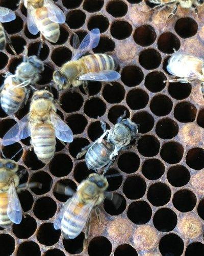 Varroa mites on bees left untreated cause death