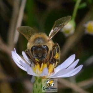 fall flower feeding honey bee
