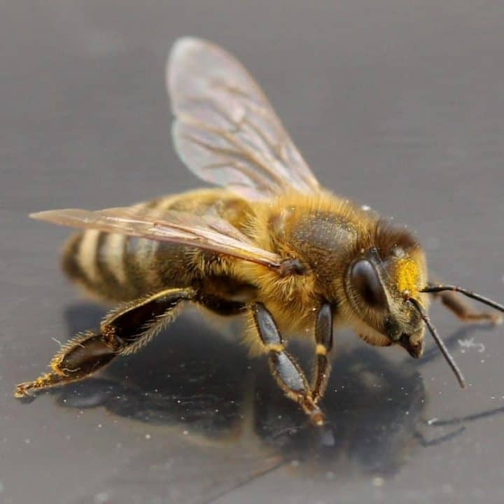 A worker bee is covered with hair. She brings pollen back to the hive.