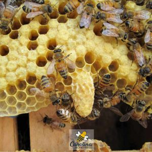 queen cell inside a bee colony