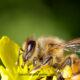 honey bee closeup