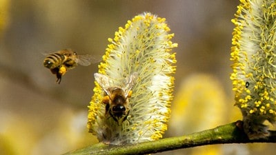 bees collecting pollen