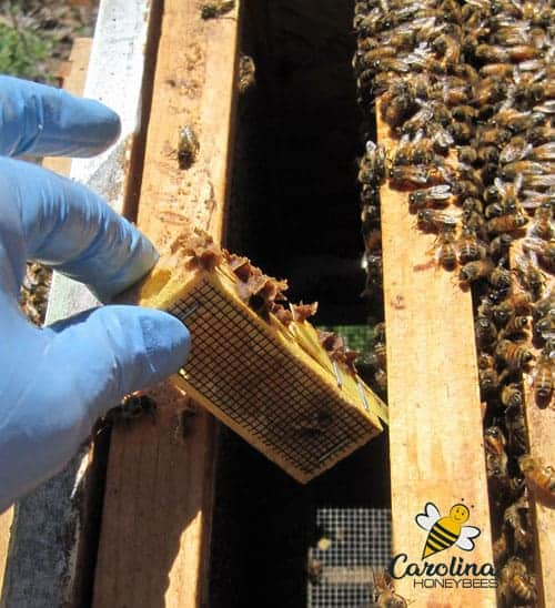 Removing a queen cage from a hive.