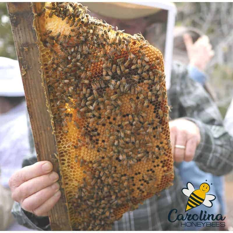 Frame of comb from top bar hive