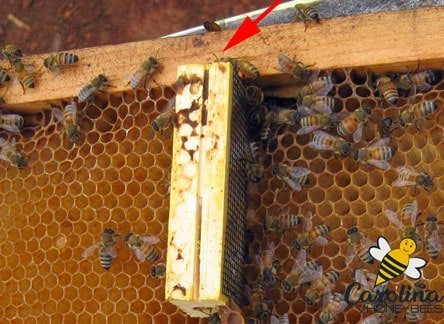 Wooden queen cage in hive for new queen introduction