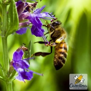 Herbal hyssop with bee