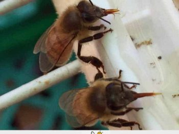 bees feeding on sugar water in a bee feeder